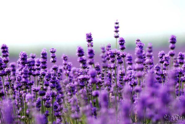 lavender-filling-eyepillow